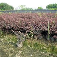 自产自销优质绿化树苗红花��木 规格齐全厂