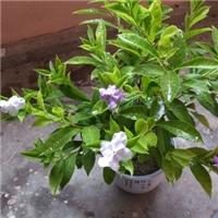 沐阳长期供应室内桌面盆栽植物鸳鸯茉莉