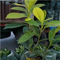 园林绿化地被苗黄金榕袋苗常年大量供应