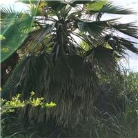 批发供应常绿行道景观树老人葵规格齐全