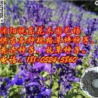 供应不雅观赏粉萼鼠尾草蓝花鼠尾草一串蓝种子