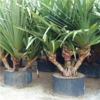 绿化苗木种植基地大量供应红刺林投