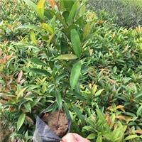 园林绿化观叶植物红车长期批发供应