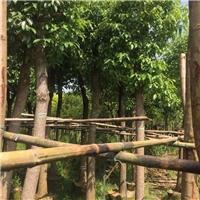 基地直销供应园林绿化乔木香樟规格齐全厂