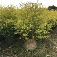 精选园林绿化苗木黄金宝树常年大量供应