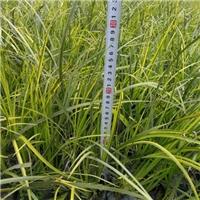 绿化工程地被苗金叶石菖蒲长期特价供应厂