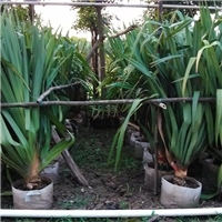 厂家直销优质观叶植物红刺林投 规格齐全