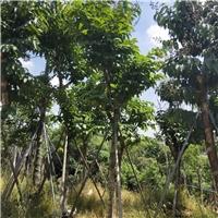 基地直销精选绿化工程树大叶紫薇