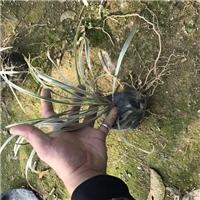 批发供应景观绿化工程苗木金边沿阶草