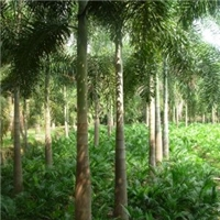 基地供应各种规格绿化乔木狐尾椰子