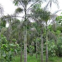 基地供应各种规格绿化乔木狐尾椰子厂