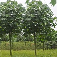 杭州苗木基地供应精品绿化树木芙蓉