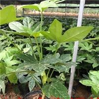 常年大量供应室内外盆栽观叶绿植八角金盘厂