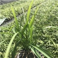 山东苗木基地大量供应多年生常绿植物吉祥草厂