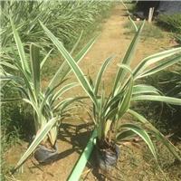 精选常绿绿化地被苗山管兰大量供应