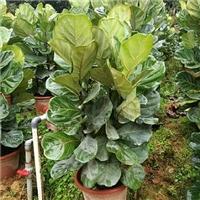 多规格供应办公室水培盆栽绿植琴叶榕厂