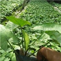 深圳基地供应创意净化空气观叶小盆栽合果芋