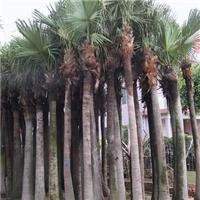 园林景观风景树高杆蒲葵特价供应厂