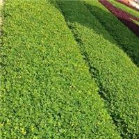 市政道路绿化花卉遍地黄金低价供应