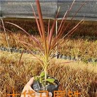 厂家供应优质观叶盆栽大袋马尾铁 量大从优