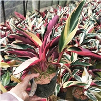 大量批发供应优质植物七彩竹芋 量大从优厂