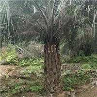 批发供应多规格大型景观树布迪椰子厂