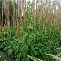 基地供应庭园攀爬植物花卉炮仗花质优价廉厂