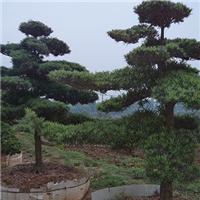 基地直销绿化用景观树罗汉松 规格齐全