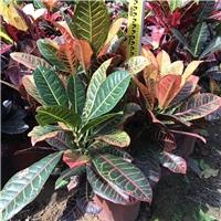 多规格供应精选工程植物树苗变叶木厂