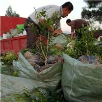常年大量供应四季常青景观苗七里香厂