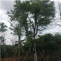 常年大量供应精品绿化行道树澳洲火焰木厂