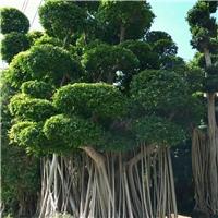 公园小区绿化大型造型树造型小叶榕批发供应厂