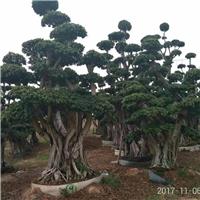 公园小区绿化大型造型树造型小叶榕批发供应