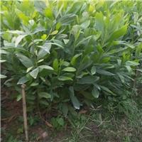 基地直销工程绿化苗木大叶相思 量大从优厂