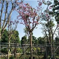揭阳绿化苗木供应基地供应大量宫粉紫荆