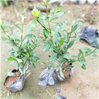 基地供应绿化植物小叶栀子 量大从优