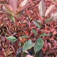 基地供应四季常青庭园绿化苗木红叶石楠