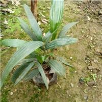 批发供应室内盆栽观叶常青植物细叶棕竹厂