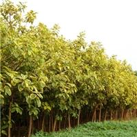 多规格绿化工程苗木丛生富贵榕大量供应