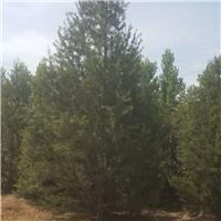 4.5-5米油松,5米油松工程用苗,5米油松价格