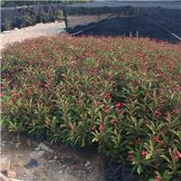 精选园林绿化苗木琴叶珊瑚特价供应