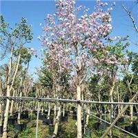 湖南特价供应树形美观风景树宫粉紫荆厂