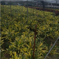 精品地被植物花叶良姜地苗大量供应