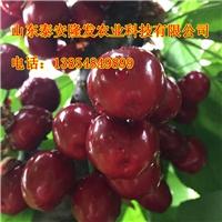 上海适合种植培育美早樱桃苗吗