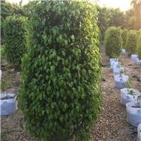 基地批发供应多规格常绿树苗垂叶榕质优价廉厂