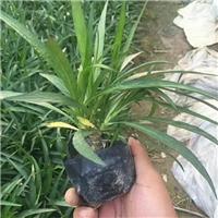 园林绿化矮生植物蓝花莉常年大量供应