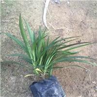 园林绿化矮生植物蓝花莉常年大量供应厂
