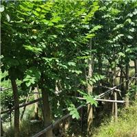 农户直销优质火焰木袋苗 多规格大量供应