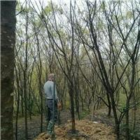福建产地直销园林造景绿化树福建山樱花厂