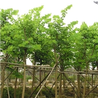 大规模苗木种植基地大量供应观赏红花紫荆厂